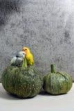 Dwa małej papugi Zdjęcie Royalty Free