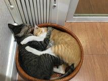 Dwa mały kot fightening Obraz Stock
