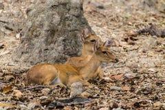 Dwa Mały rogacz w Chiangmai zoo, Tajlandia Obrazy Royalty Free