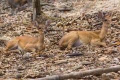 Dwa Mały rogacz w Chiangmai zoo, Tajlandia Zdjęcia Royalty Free