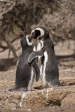 Dwa magellanic pingwin pozyci przed ich gniazdeczkiem Zdjęcia Stock