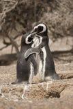Dwa magellanic pingwin pozyci przed ich gniazdeczkiem Zdjęcie Royalty Free