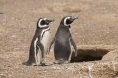 Dwa magellanic pingwin pozyci przed ich gniazdeczkiem Zdjęcia Royalty Free