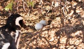 Dwa Magellanic pingwinu jajka w gniazdeczku i macierzystym approachig zdjęcia stock