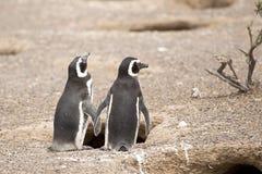 Dwa magellanic pingwinu stoi przed ich gniazdeczkiem Fotografia Royalty Free