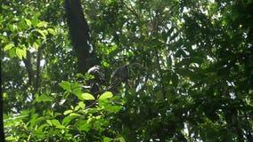 Dwa makaka wspina się wśród obfitolistnych zielonych gałąź zbiory wideo