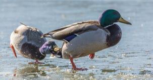 Dwa mallard kaczki na zamarzniętym jeziorze przy koperczaki fotografia stock