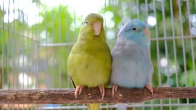 Dwa malutkiej papugi na drewnie z bokeh tłem zbiory
