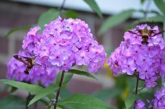 Dwa Mamroczą pszczół ćma Fotografia Royalty Free