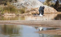 Dwa marabuta bociana zdejmowali Fotografia Stock
