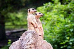 Dwa meerkat dopatrywanie Obrazy Royalty Free