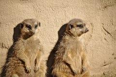 Dwa meerkats sunbathing podczas gdy opierający przeciw skale Zdjęcie Stock