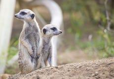 Dwa Meerkats (Suricata suricatta) Fotografia Royalty Free