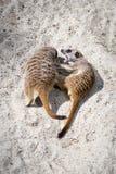 Dwa Meerkats Suricata suricatta sztuki bój z Each Inny zdjęcia royalty free