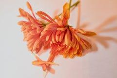 Dwa miękkiego pomarańczowego mums fotografia stock