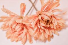 Dwa miękkiej części kiści pomarańczowej chryzantemy zdjęcia royalty free