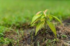 Dwa miesiąca starego lychee roślina w ogródzie po deszczu obraz stock