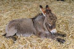 Dwa miesiąca starego youn dziecka osła źrebięcia odpoczywa na słomie Zdjęcia Royalty Free