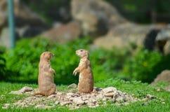 Dwa śmiesznego marmonts opowiada na zielonym tle Zdjęcie Stock