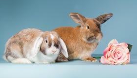 Dwa mini lop króliki z wzrastali Obraz Royalty Free