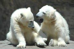 dwa młody niedźwiedź polarny bawić się Fotografia Stock