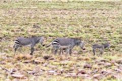Dwa mokrego halnej zebry klacza z źrebiętami Obraz Stock