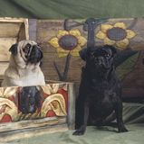 Dwa mopsa psa Zdjęcie Stock