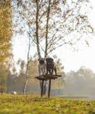 Dwa mopsa, psy, czarny i biały stoją na ławce z uśmiechniętymi szczęśliwymi twarzami w parku na słonecznym dniu, zdjęcia royalty free