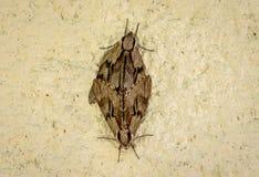 Dwa motyla lub ćma szturman na betonowej ściany tle obraz royalty free