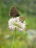 Dwa motyla siedzą na osamotnionym kwiacie zdjęcia royalty free