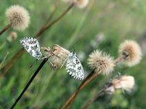 dwa motyle Obraz Royalty Free