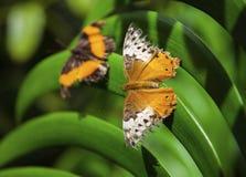 dwa motyle Zdjęcia Royalty Free