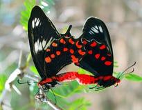 Dwa motylia miłość Fotografia Royalty Free