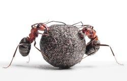 Dwa mrówki stacza się kamień Obrazy Stock