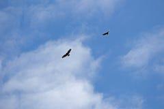 Dwa myszołowa w niebie Fotografia Stock