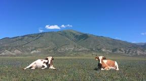Dwa nakładającej krowy fotografia stock