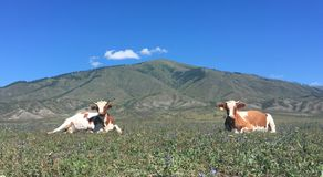 Dwa nakładającej krowy fotografia royalty free
