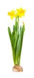 Dwa narcyzów kwiat Fotografia Royalty Free
