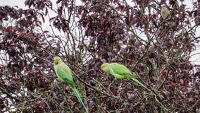 Dwa necked parakeets Zdjęcie Stock