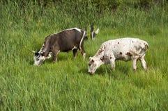 Dwa Nguni byka karmi na zielonej trawie Zdjęcia Stock
