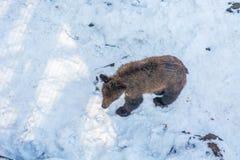 Dwa niedźwiadkowego lisiątka bawić się w śniegu, wysokich drzewach i homoseksualnym lisiątek bębnować, zdjęcie stock