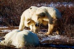 Dwa niedźwiedzi polarnych bawić się Zdjęcia Royalty Free