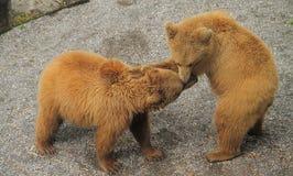 Dwa niedźwiedzia ma zabawę bawić się z each inny Obrazy Royalty Free