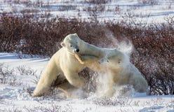 Dwa niedźwiedzia polarnego bawić się z each inny w tundrze Kanada fotografia royalty free