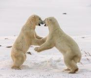 Dwa niedźwiedzia polarnego bawić się z each inny w tundrze Kanada obrazy stock