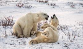 Dwa niedźwiedzia polarnego bawić się z each inny w tundrze Kanada fotografia stock