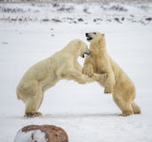 Dwa niedźwiedzia polarnego bawić się z each inny w tundrze Kanada obraz royalty free