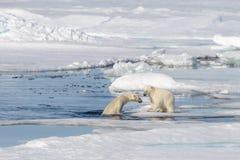 Dwa niedźwiedzia polarnego lisiątka bawić się wpólnie na lodzie Zdjęcie Stock