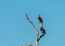 Dwa nieletniego kormoranu na drzewie zdjęcia royalty free