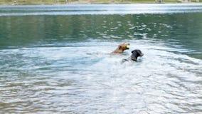 Dwa niemiec Pinscher bawić się w jeziorze zdjęcie wideo